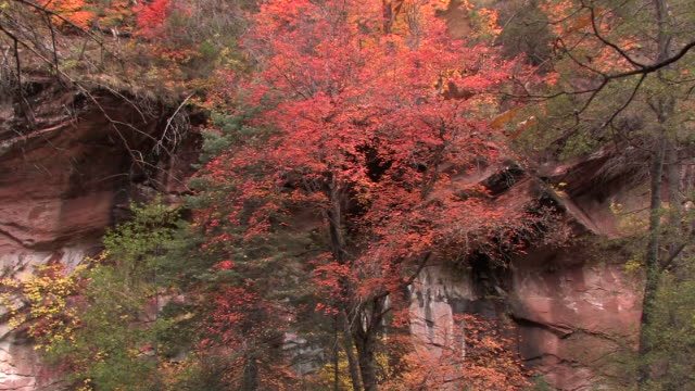 ms zi trees with autumn leaves at bottom of rock wall/ canyon de chelly national monument, arizona - canyon de chelly stock videos & royalty-free footage