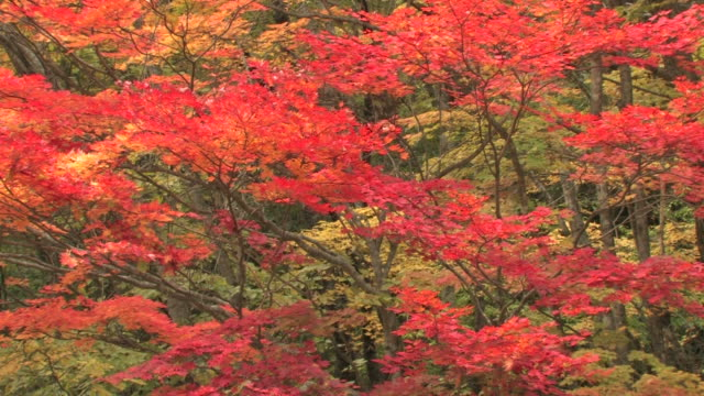 trees with autumn leaves - maple leaf stock videos and b-roll footage