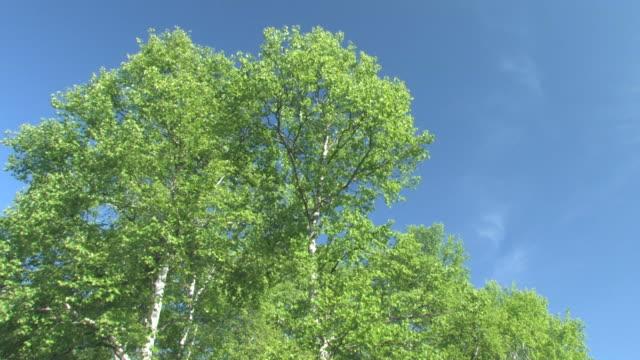 la trees with green leaves against blue sky - tree点の映像素材/bロール
