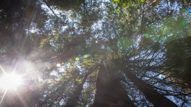 treetops at giant redwood forest - northern california stock videos and b-roll footage