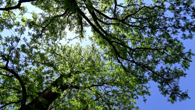 treetops in spring - tree canopy stock videos & royalty-free footage