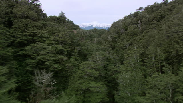 vidéos et rushes de aerial treetops of lush, green forest covering steep mountainous peaks and ravines, snow-capped mountain range beyond / manawatu-wanganui, new zealand - nouvelle zélande
