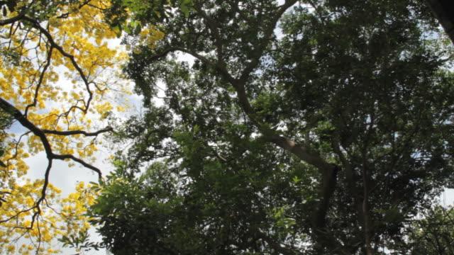ms la treetops with yellow flowers / panama city, panama - treetop stock videos & royalty-free footage