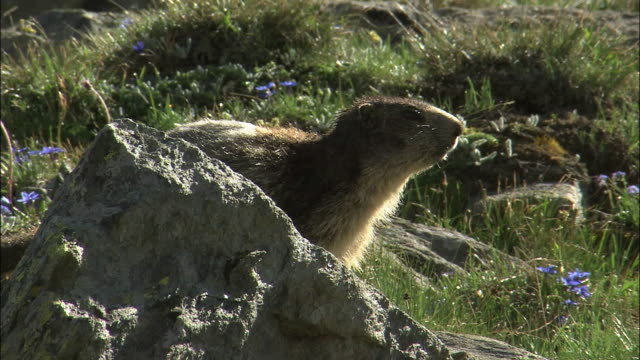 Trekkers gather to watch marmots eating grasses and playing In Switzerland