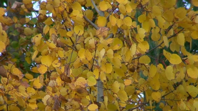 trembling aspen leaves in fall - aspen tree stock videos & royalty-free footage