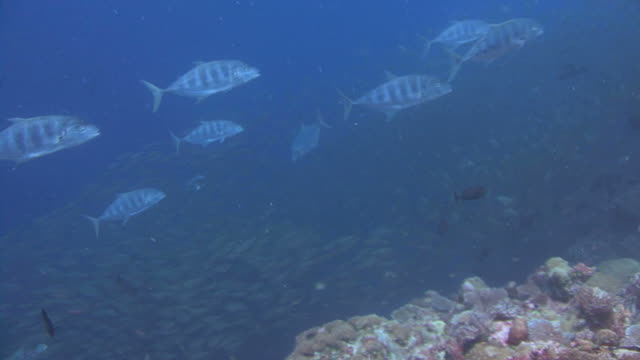 trevally hunting - jack fish stock videos and b-roll footage