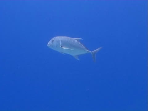 Trevally in open water