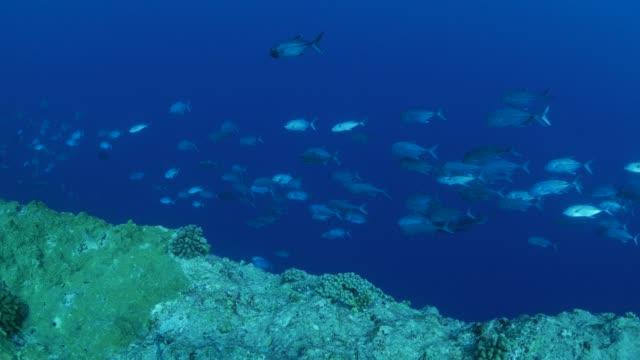 シマアジ ジャック魚深海、パラオでスクーリング - 野生生物保護点の映像素材/bロール