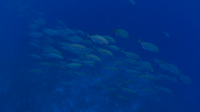trevally jack fish schooling at deep sea - jack fish stock videos and b-roll footage