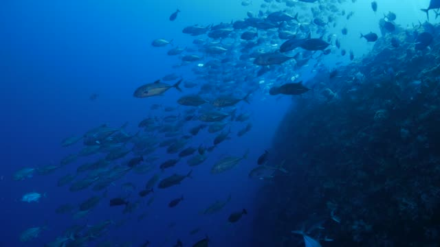 trevally jack fish schooling in undersea reef - undersea stock videos & royalty-free footage