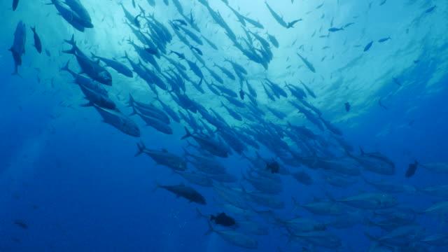 trevally jack fish tornado undersea, galapagos - branco di pesci video stock e b–roll