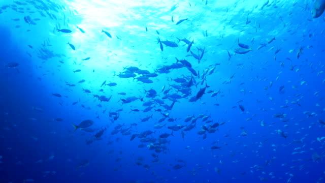 シマアジ ジャック魚竜巻