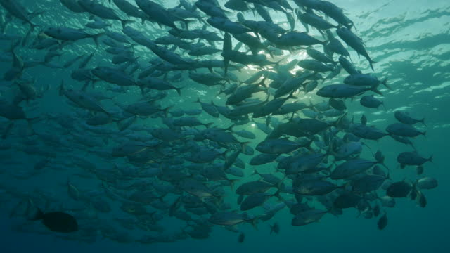 trevally jackfish schooling under sea surface, indonesia (4k) - jack fish stock videos and b-roll footage