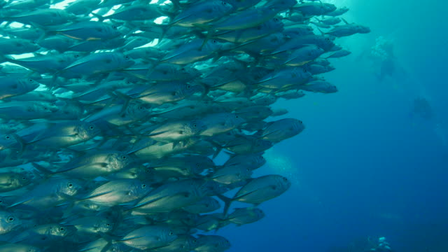 trevally jackfish schooling - jack fish stock videos and b-roll footage
