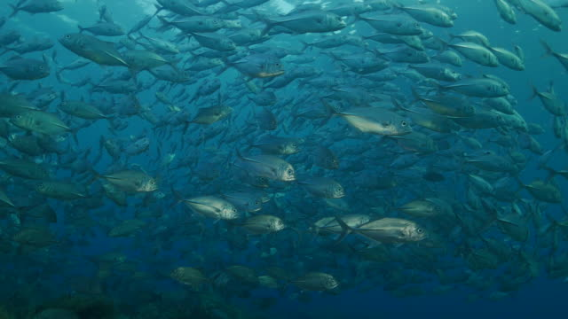 trevally jackfish, swimming, under sea surface, bali, indonesia (4k) - jack fish stock videos and b-roll footage