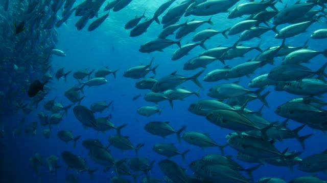 Stachelmakrele Ausbildung unter dem Meer Oberfläche (4K)