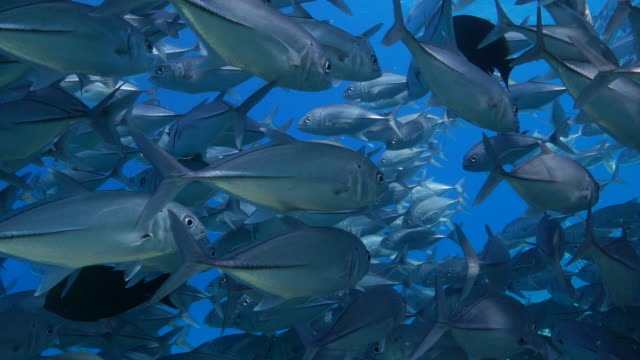 trevally (jack fish) swimming undersea - jack fish stock videos and b-roll footage