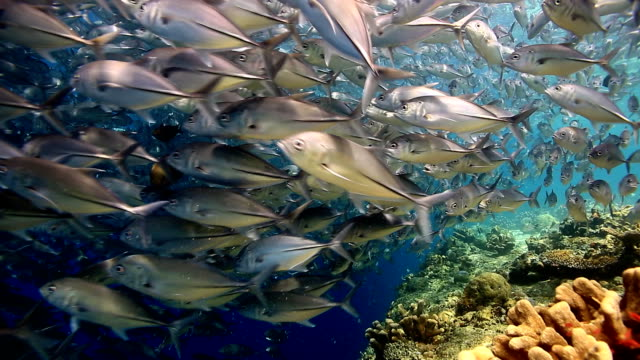 trevallyjack closed up - palau stock videos & royalty-free footage