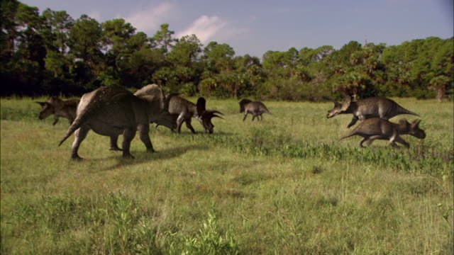 a triceratops herd grazes in a clearing where a tyrannosaurus rex waits in the jungle nearby. - triceratops stock videos and b-roll footage
