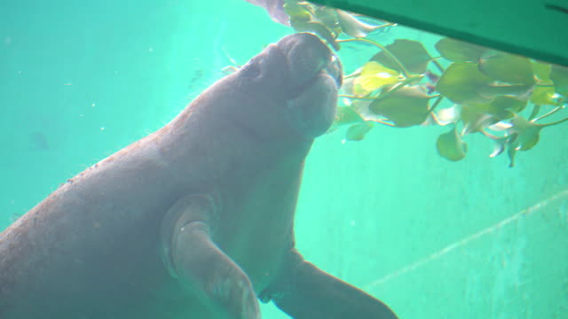 trichechus, a manatee feeding underwater - lamantino video stock e b–roll
