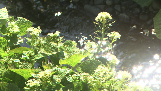 a trickling stream flows behind wasabi flowers. - wasabi stock videos and b-roll footage
