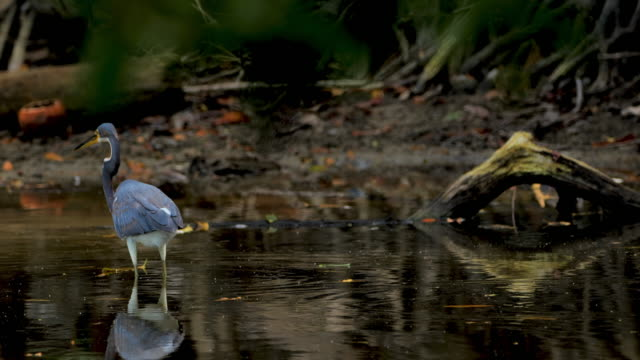 tricolored heron: costa rica - animals in the wild stock videos & royalty-free footage