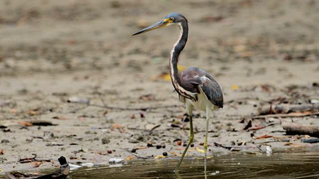 tricolored heron: costa rica - heron stock videos & royalty-free footage