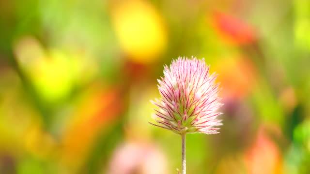 Trifolium arvense flower 4K
