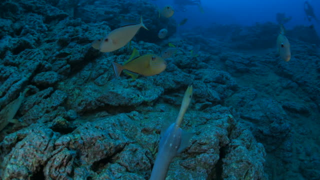 trigger fish and trumpet fish - trumpet fish stock videos & royalty-free footage