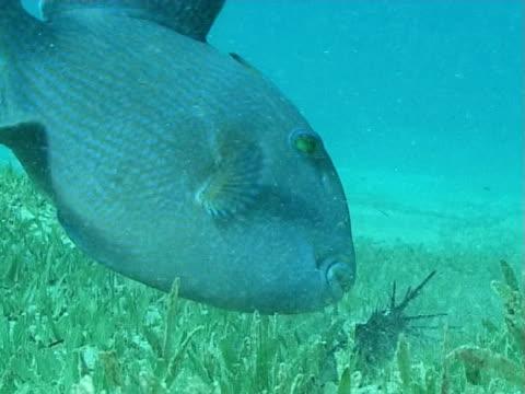 vídeos de stock e filmes b-roll de trigger fish chomping of urchin in the sand against blue water mws - sargaço