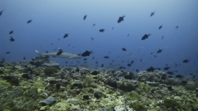 Trigger fish swimming frantically while a shark swims among them