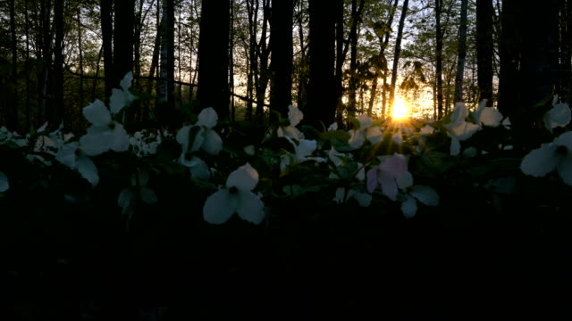 trillium flowers of the canadian national park in the morning - trillium stock videos & royalty-free footage