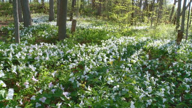 trillium flowers - trillium stock videos & royalty-free footage