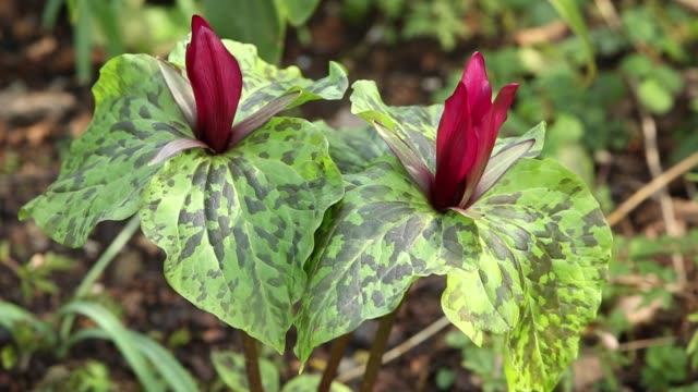 vídeos y material grabado en eventos de stock de a trillium growing in holehird gardens, windermere, uk. - trillium