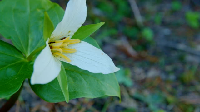 Trillium wildflower tri flower in forest meadow Mt. Hood Spring Forest Oregon Cascade Mountains