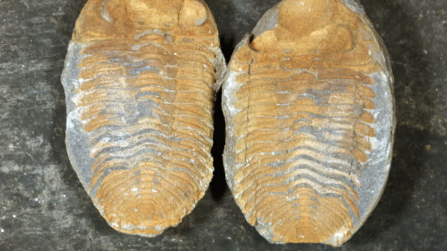 Trilobite fossil from Bolivia, in a nodule which has been split open