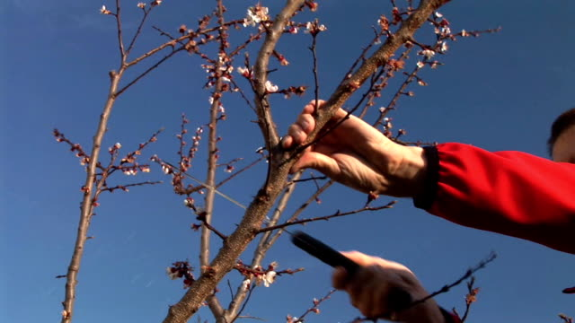 vídeos de stock, filmes e b-roll de hd: cortar uma árvore frutífera - árvore de folha caduca