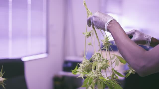4K UHD: Trimming Marijuana Plant