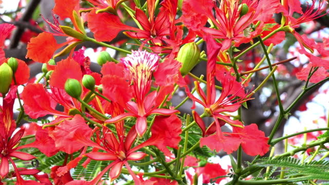 Trinidad, Cuba: Red flowers of the flamboyant tree, close-up