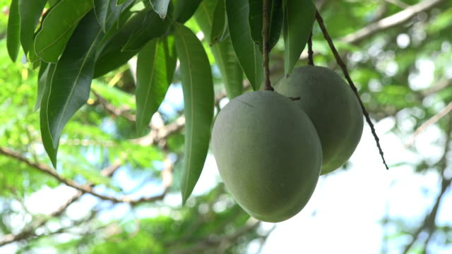 trinidad,cuba: 'guachinango' farm. green mangoes hanging on tree. the tropical fruit is a favourite of tourists visiting the caribbean island - tropical tree stock videos & royalty-free footage