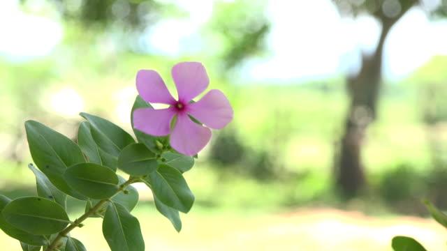 Trinidad,Cuba: 'Guachinango' farm. Pink flower which is known in the Caribbean island as 'vicaria'