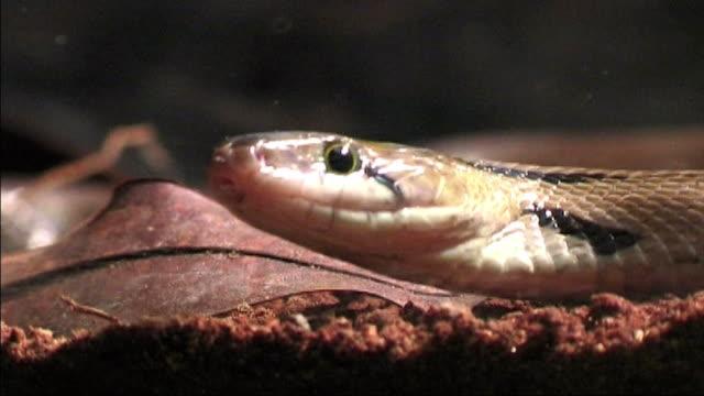 Trinket snake hunts mouse