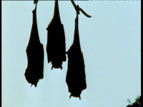 trio of grey headed fruit bats hang upside down from branch in silhouette, australia - gripping stock videos and b-roll footage