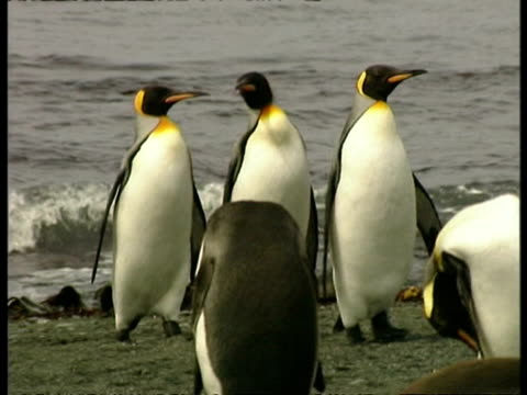 ms trio of king penguins, aptenodytes patagonicus, waddling onto shore, antarctica - south pole stock videos & royalty-free footage