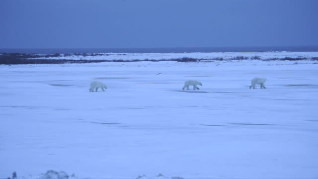 a trio of polar bears walks across a wide, snowy plain in manitoba. - wide stock videos and b-roll footage