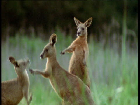 trio of young male grey kangaroos box and spar, australia - 攻撃的点の映像素材/bロール