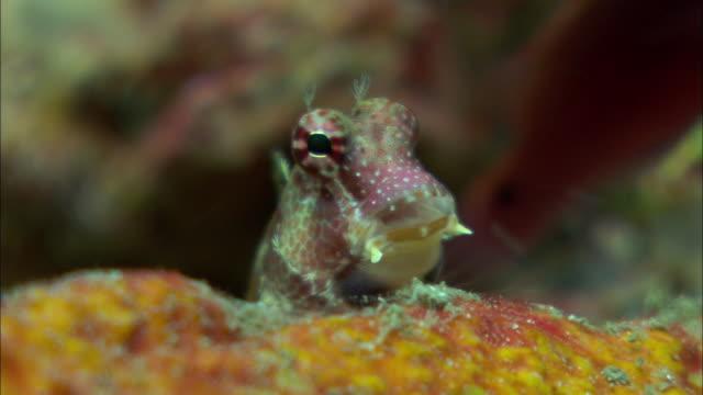 Triplespot blenny (Crossosalarias macrospilus) peers around on coral reef, Manado, Indonesia