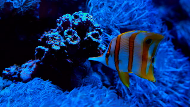 vídeos de stock, filmes e b-roll de troipcal peixe nadar debaixo de água, com recifes de corais - organismo aquático