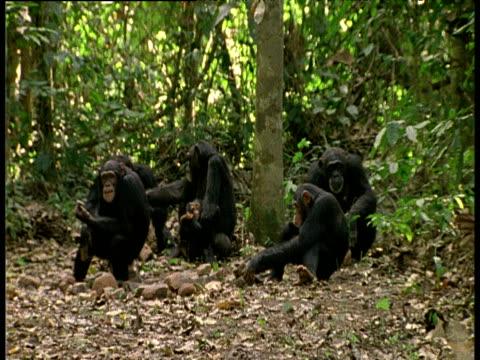 vídeos y material grabado en eventos de stock de troop of chimpanzees sit in a clearing, various chimps cracking nuts with stones and eating - chimpancé común
