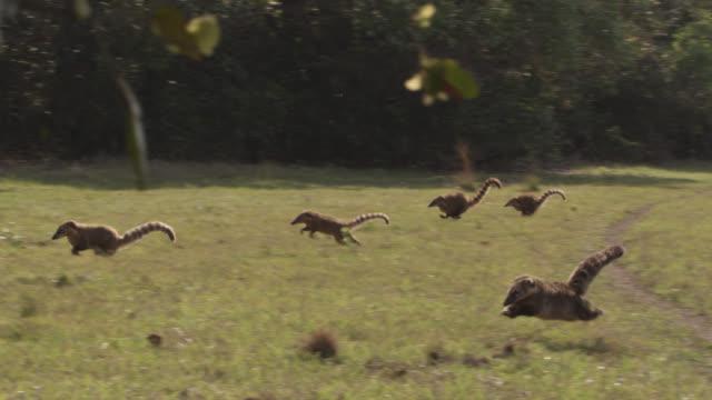 Troop of coatis (Nasua nasua) run across grass.